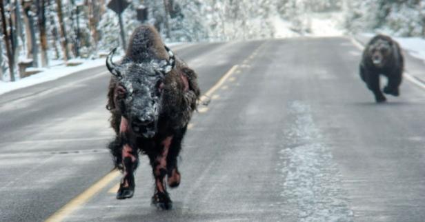 population zero - photo - bear chasing bison copy